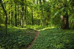 Путь Naturan сделанный в красивом лесе древесной зелени стоковые изображения rf