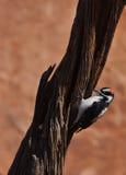 Пуховая птица Woodpecker на дереве Стоковое фото RF