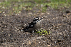 Пуховое усаживание Woodpecker Стоковые Фото