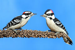 пуховые woodpeckers pubescens picoides Стоковые Фото
