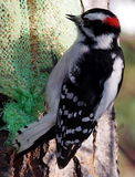 пуховый мыжской woodpecker Стоковое Фото