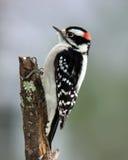 пуховый мыжской woodpecker Стоковое фото RF