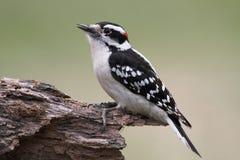 пуховый мыжской woodpecker pubescens picoides Стоковая Фотография