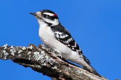 пуховый мыжской woodpecker pubescens picoides Стоковые Фото