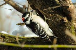 Пуховый подавать woodpecker Стоковые Изображения RF