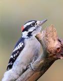 пуховый ый woodpecker Стоковое Изображение RF