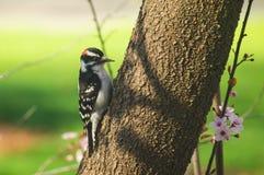 Пуховый woodpecker в предыдущей весне Стоковое Фото