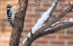 Пуховый Woodpecker ища насекомые на дереве в зиме 1 Стоковые Фото