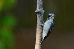 Пуховый Woodpecker на ветви дерева. Стоковые Фотографии RF