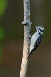 Пуховый Woodpecker на ветви дерева. Стоковые Изображения RF