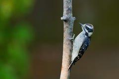 Пуховый Woodpecker на ветви дерева. Стоковые Изображения