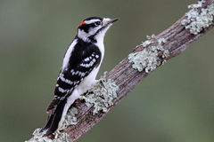 Пуховый Woodpecker на ветви Стоковое Фото