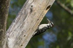 Пуховый Woodpecker на гнезде Стоковые Фотографии RF