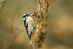 Пуховый woodpecker на дереве Стоковая Фотография