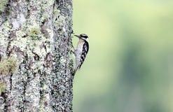 Пуховый Woodpecker на лишайнике покрыл дуб каштана, закоптелые горы Стоковая Фотография