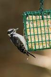 Пуховый Woodpecker на фидере птицы. Стоковая Фотография RF