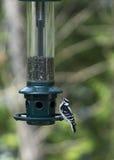 Пуховый Woodpecker на фидере Стоковое фото RF