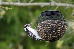Пуховый Woodpecker на фидере Стоковые Изображения RF