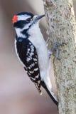 Пуховый Woodpecker на хоботе Стоковые Изображения RF