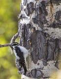 Пуховый Woodpecker на Aspen Стоковые Фото