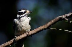 Пуховый Woodpecker садить на насест на ветви Стоковая Фотография RF