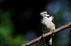 Пуховый Woodpecker садить на насест на ветви Стоковые Фотографии RF