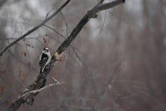 Пуховый Woodpecker сидя в дереве Стоковая Фотография