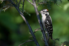 пуховый woodpecker утра Стоковое фото RF