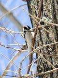 Пуховый Woodpecker льнуть к ветви фуражируя для еды Стоковое Изображение