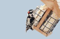 пуховый woodpecker Стоковая Фотография RF