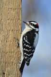 пуховый woodpecker Стоковое Фото