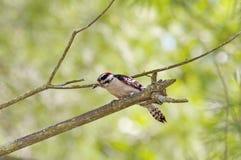 пуховый woodpecker Стоковая Фотография
