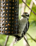 пуховый woodpecker Стоковое Изображение