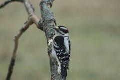 пуховый woodpecker Стоковые Изображения