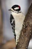 пуховый woodpecker Стоковое фото RF