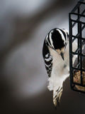 Пуховый Woodpecker - pubescens Dryobates Стоковое фото RF