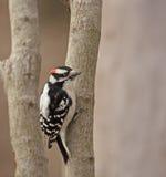 пуховый woodpecker pubescens picoides Стоковые Изображения