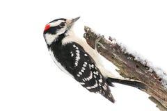 Пуховый Woodpecker (pubescens Picoides) Стоковые Изображения RF