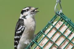 Пуховый Woodpecker (pubescens Picoides) Стоковые Изображения