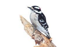 Пуховый Woodpecker (pubescens Picoides) Стоковое Фото