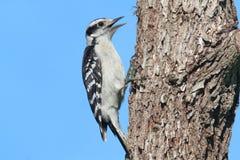 пуховый woodpecker pubescens picoides Стоковое Фото