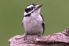 пуховый woodpecker pubescens picoides Стоковые Фотографии RF