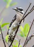 Пуховый Woodpecker - pubescens Picoides Стоковые Изображения