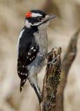 Пуховый Woodpecker - pubescens Picoides Стоковые Фотографии RF