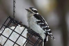 пуховый woodpecker suet еды Стоковое Изображение