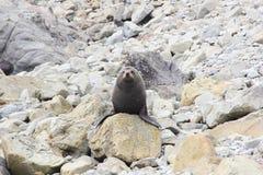Пухлый морской котик ослабляя на пляже Стоковое Фото