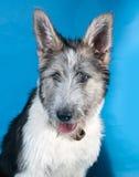 Пушистая белая и серая собака на сини стоковые изображения