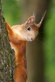 Пушистая белка на дереве в парке Стоковые Изображения RF
