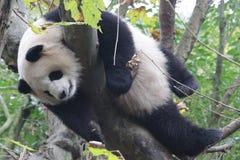 Пушистая гигантская панда в Китае Стоковые Фото