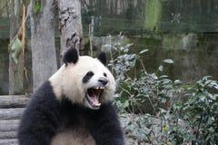 Пушистая гигантская панда в Китае Стоковое Изображение RF